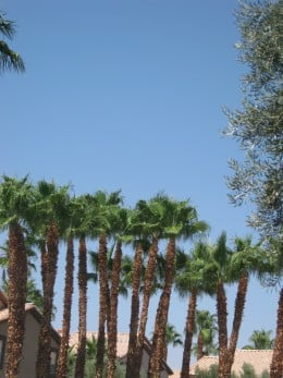 "California ""Fan"" Palm Trees"