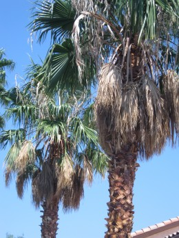 "California Fan Palm Trees that need trimming - you can tell by the brown palm fronds that hang down. These trees are also sometimes called ""Petticoat Palm"" trees because they resemble petticoats when the old fronds hang down like a ""skirt."""