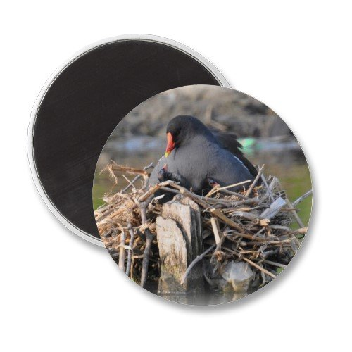 Moorhen and chick magnet.  Many of these bird pictures can be found on cards and gifts on Zazzle.com - follow the link to browse.