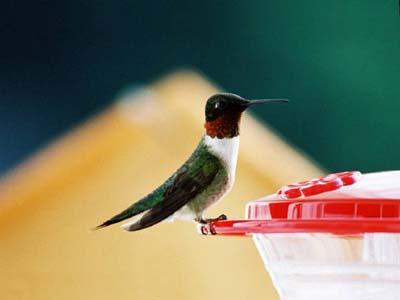 Ruby Red Throated Hummingbird