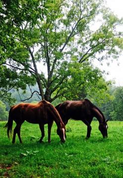 Thoroughbred Racing Horses