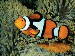 The Breeding of ClownFish (Lets Start Laying Eggs)