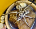 The Lovely Wolf Spider