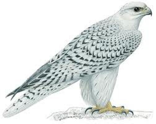 Dr Ghanshyam wrote a document all about the peregrine falcon.