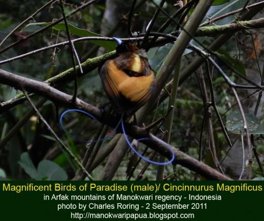 Male Magnificent Birds of Paradise (cincinnurus magnificus) in the rainforest of Arfak mountains.