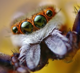 Spider Fangs Up Close and Personal - This picture gives me the chills.