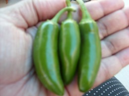 First harvest of Serrano peppers