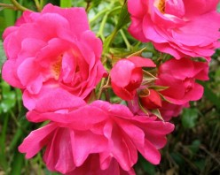 Tips On Caring For Carpet Roses