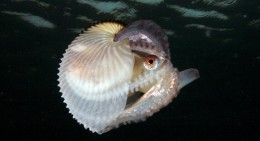 Female Argonaut Octopus