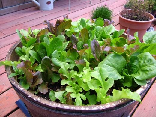 lettuce after a few weeks