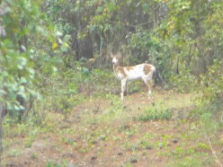 The deer seemed to almost pose for this second photo as we thrilled to the sight of our first piebald.