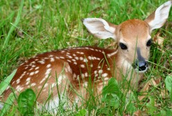 A normal whitetail fawn can hide easier than a piebald offspring with its white fur.