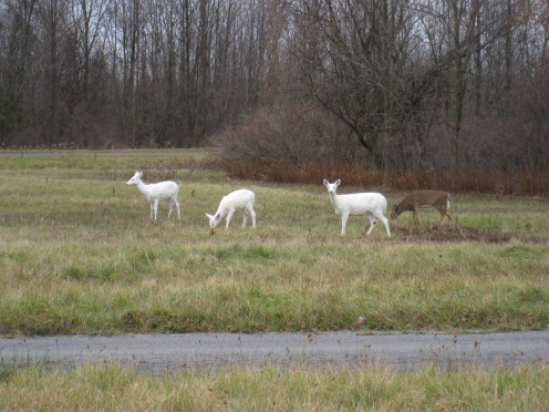 Isolated herds with the recessive piebald trait may produce all white deer such as these wonderful animals in New York State.