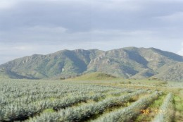 A field of tequila plants