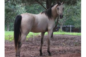 Rose when I first got her. Notice the sheared upper mane and total lack of forelock.