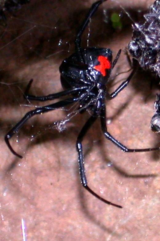 Black Widow Bites Child Spider Bites From Black Widow