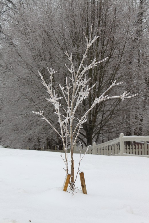 Dogwood tree planted in summer 2010, incased in ice after ice storm 2/2/2011