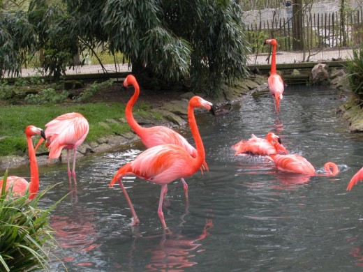 Beautiful pink flamingo's.