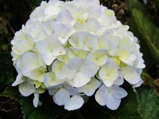 white and yellow hydrangea
