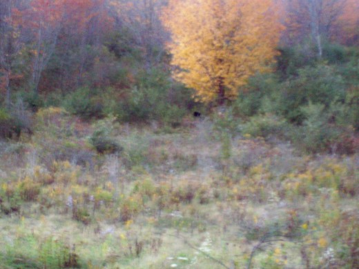 If you look closely under the yellow tree there is a black bear.