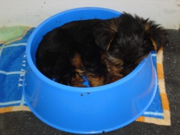 Ziggy napping after dinner (in Cisco's bowl- LOL!)
