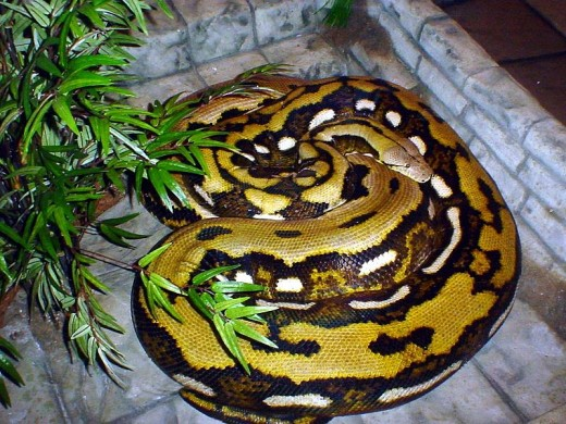 Fluffy, the famous Reticulated Python. The largest snake on exhibit in the world. She is 24 feet long, 300 pounds, and hatched in captivity..