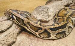 The Responsibilty of Owning a Large Snake