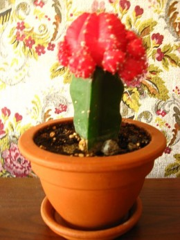 grafted cactus