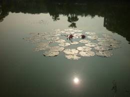 This was an early morning photo of the sun glistening off the water with a water lily