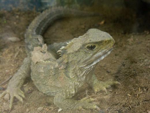 A Tuatara: Sphenodon_punctatus_