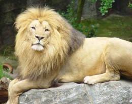An Asiatic Lion inside the Gir National Park