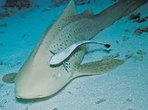 The remora with sand-shark