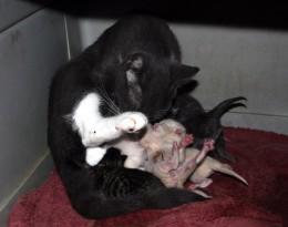 Smoky Mama and kittens - born 9.18.11