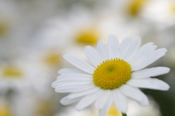 Roman Chamomile: the plant's physician