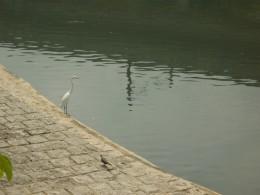 A white crane staning in a conduit wating fot a fish in Hong Kong