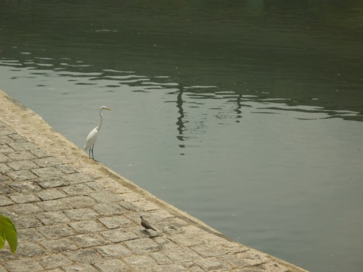 A white crane staning in a conduit wating fot a fish in Hong Kong