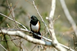 Eastern Towhee | image credit: National Park Service