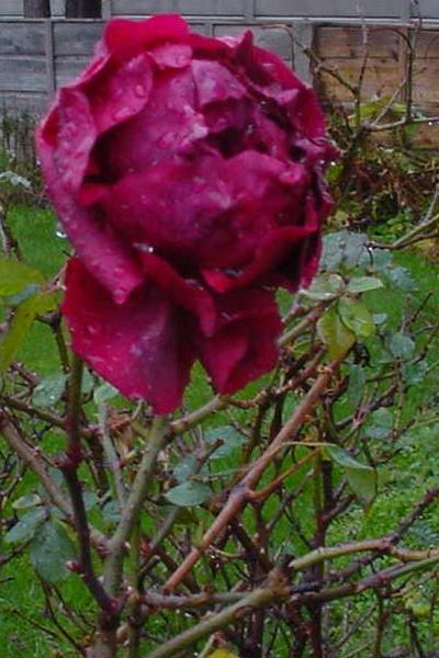 A dramatically out-of-season English rose, photographed January 6, 2007, by Anthony Appleyard, illustrates the increasing unpredictability of weather.  Image courtesy Wikimedia Commons.