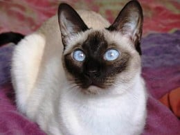 Seal Point Traditional Siamese Cat