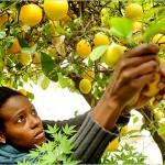 Picking Lemons in Australia
