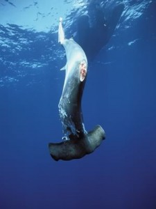 a finned hammerhead shark