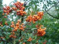 Pyracantha is not unlike holly.  You can be pretty brutal with it and it will still be good to you.  Another good berry shrub is Skimmia Japonica.