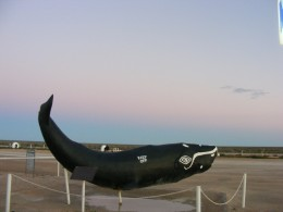 Whale watching is a major opportunity while crossing the Nullabor during the migration season. This model is part of the Nullabor Roadhouse appeal.