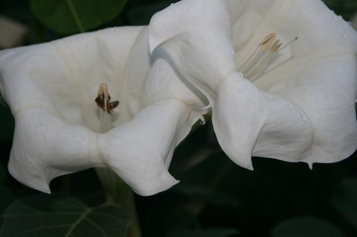 Bees find the large, white flowers irrestible