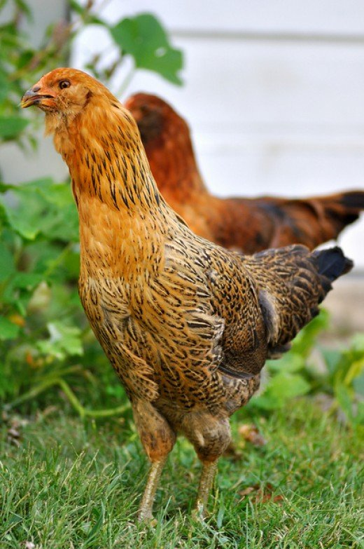 Many people are now keeping chickens in their back yards, even in the cities.