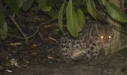 Bornean Clouded Leopard