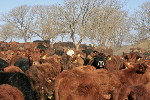 Cattle are often kept in crowded conditions where diseases would spread quickly if antibiotics were not routinely administered.