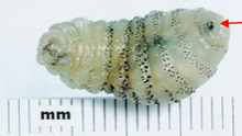 FULL VIEW OF LARVAE SHOWING SPINES AND MOUTH