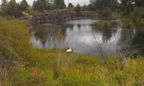 Swan by the Deschutes River (shot during a marathon training run with my Android cell phone)