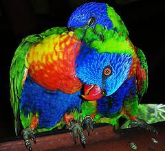 Love Birds from Gurpal Kaher Source: flickr.com